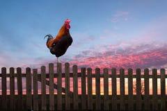 Coq rappelant sur une barrière en bois au lever de soleil photos stock