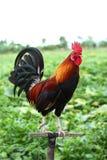 Coq rouge Photographie stock libre de droits