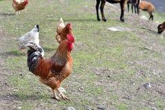Coq rouge d'animal de ferme marchant sur le champ de ferme Photographie stock libre de droits