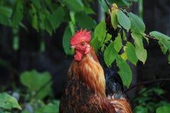 Coq sous l'arbre Photographie stock libre de droits
