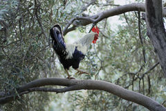 Coq sur l'arbre Photo stock