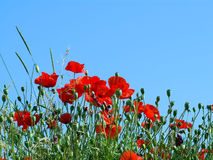 Coqelicot. The red coqelicot and the blue sky Stock Image