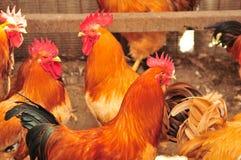 Coqs Photo stock