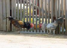 Coqs Photo libre de droits