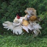 Coqs blancs et combat rouge à la ferme photo stock