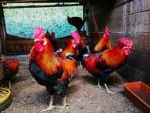 Coqs dans une cage de poulet sur une ferme photos libres de droits