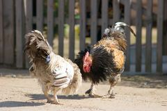 Coqs de combat Photo libre de droits