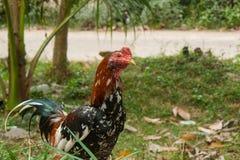 Coqs de combat d'élevage de la Thaïlande Photographie stock libre de droits