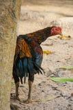 Coqs de combat d'élevage de la Thaïlande Image libre de droits