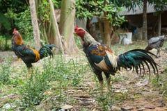 Coqs de combat d'élevage de la Thaïlande Photo stock