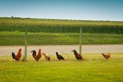 Coqs et poules dans une rangée Photographie stock