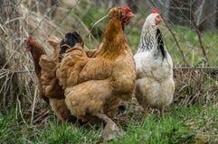 Coqs et poulets images stock
