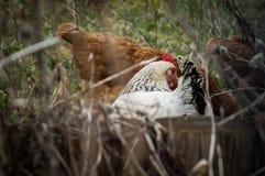 Coqs et poulets photo libre de droits