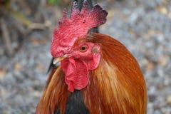Coqs et poulets dirigés rouges de ville de Ybor images stock