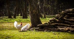 Coqs forageant pour la nourriture Image stock