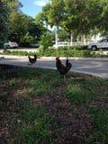 Coqs iconiques de Key West photos stock