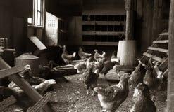 Coqs ou coqs de poulets se tenant dans une cage de poulet images libres de droits