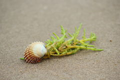 Coque Shell et algue Photographie stock libre de droits