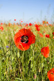 Coquelicot Royalty Free Stock Images