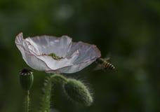 Coquelicot & abelha Foto de Stock Royalty Free