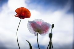 Coquelicot. Beautiful poppies flowers at Dalat, Vietnam stock photo