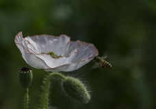 Coquelicot & bee. A white Coquelicot flower, its fruit and a bee which was working for honey royalty free stock photo