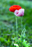 Coquelicot couple in garden flowers. Coquelicot couple in garden flower with a red flower and a purple flower happy together. They expressed together, gather royalty free stock photo