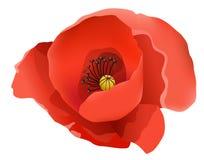 coquelicot kwiat ilustracja wektor