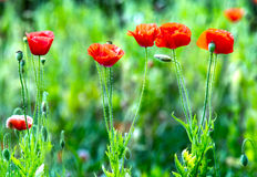 Coquelicot petals in the wind. With the background blurred, and the hairs on the body increases Coquelicot flower blossom beauty of this stock photo