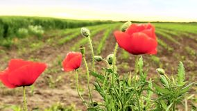 Coquelicot, Ponceau video d archivio