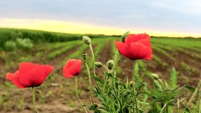 Coquelicot Ponceau stock video