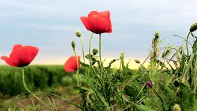 Coquelicot, Ponceau stock footage