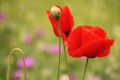 Coquelicot; rouge; fleurs; garden. Two red floors in green garden royalty free stock images