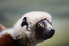 Coquerel's Sifaka Lemur Royalty Free Stock Photos