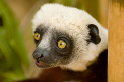 Coquerel's Sifaka Stock Photo