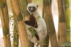 Coquerel's Sifaka. (Propithecus coquereli). Endangered and endemic to Madagascar. Antananarivo Lemur Park, Madagascar royalty free stock photos