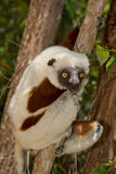 Coquerel's Sifaka royalty free stock image