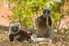 Coquerel's Sifaka. Wild Coquerel's Sifaka in Madagascar Stock Photography