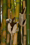 Coquerel's Sifaka. Wild Coquerel's Sifaka in Madagascar royalty free stock image