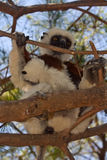Coquerel's Sifaka. Wild Coquerel's Sifaka in Madagascar Royalty Free Stock Photo