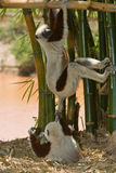 Coquerel's Sifakas. Wild Coquerel's Sifakas in Madagascar Stock Photos