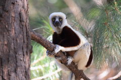 Coquerel sifaka Obrazy Stock