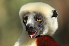 Coquerel sifaka Royalty Free Stock Photos