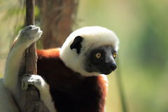 Coquerel sifaka Royalty Free Stock Images