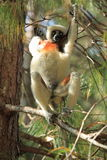 Coquerel sifaka Royalty Free Stock Photo