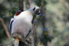 Coquerel sifaka Stock Photography