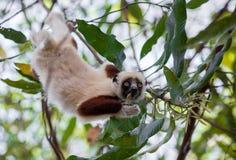 Coquereli di Propithecus di sifaka del ` s di Coquerel delle lemure Fotografia Stock