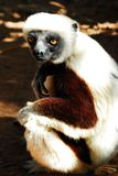 Coquerels Sifaka (Propithecus Coquereli) stockfotografie