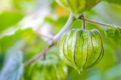 Coqueret comestible sur l'arbre dans les fermes organiques photographie stock libre de droits