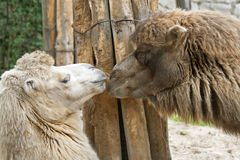 Coquet camels. Two camels are flirting at the zoo Royalty Free Stock Images